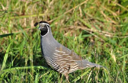 quail---