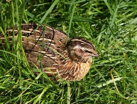 quail-