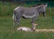 zebra-and-baby-