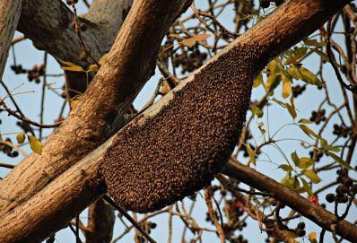 honeybees-1