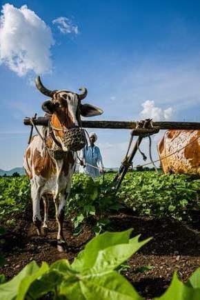 cow-12