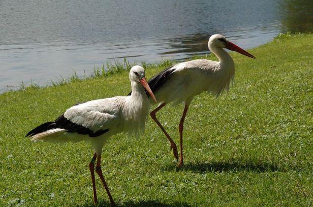 stork-1